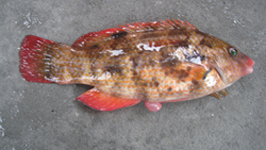 Phil Marshall's Baillon's Wrasse 001