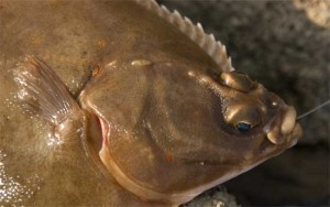 Plaice Head